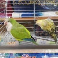 Bari, pappagallini di specie protetta scoperti in negozio. I carabinieri: