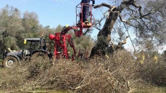 Xylella, la UE dà due mesi all'Italia per espiantare gli ulivi