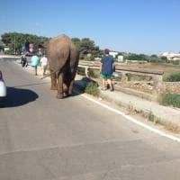 Salento, l'elefante fuggito dal circo passeggia per strada
