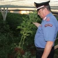 Lecce, una serra di marijuana nascosta tra le piante ornamentali: arrestato