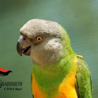 Bari, pappagallo di una specie protetta aggredito dai gatti salvato dai carabinieri