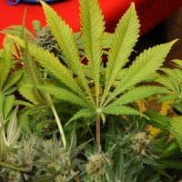 Salute, sì della Puglia alla produzione di cannabis medica: