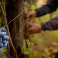 """Puglia, nelle campagne le ronde degli agricoltori: """"I ladri saccheggiano vigneti e..."""