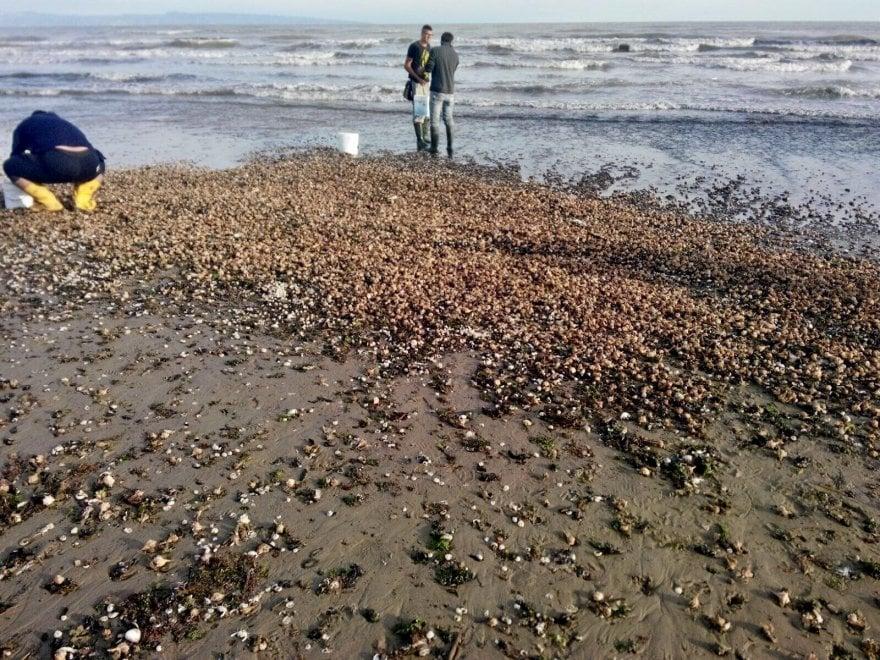 Barletta, migliaia di murici sulla spiaggia dopo la mareggiata