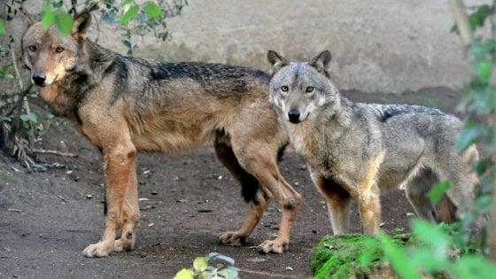I lupi tornano in Salento dopo un secolo: in Puglia segnalati anche su Gargano, Murge e arco ionico