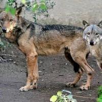 I lupi tornano in Salento dopo un secolo: in Puglia segnalati anche su Gargano,