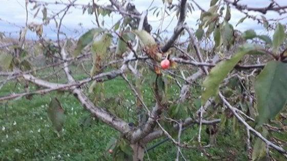"""In Puglia spuntano le ciliegie sugli alberi a dicembre. Coldiretti: """"Clima impazzito, effetti disastrosi"""""""