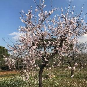 Primavera in anticipo in Puglia, l'allarme di Coldiretti: alberi già in fiore e raccolto a rischio