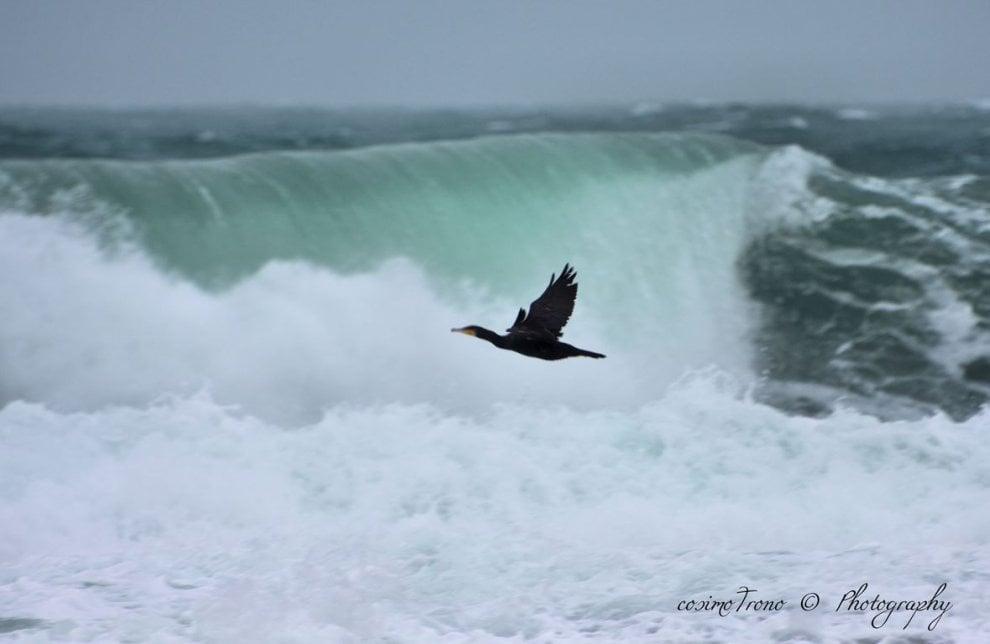 La mareggiata sorprende il cormorano: gli scatti d'autore dal Salento