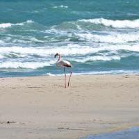 Salento, un fenicottero solitario passeggia sulla spiaggia