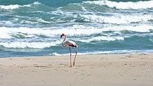 Un fenicottero solitario    passeggia sulla spiaggia