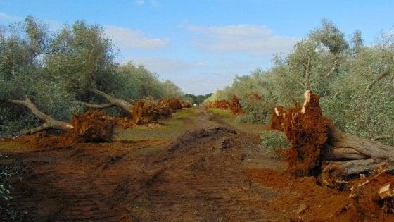 Xylella, Tar ferma l'abbattimento degli ulivi monumentali. Ma in Puglia contagi sono triplicati