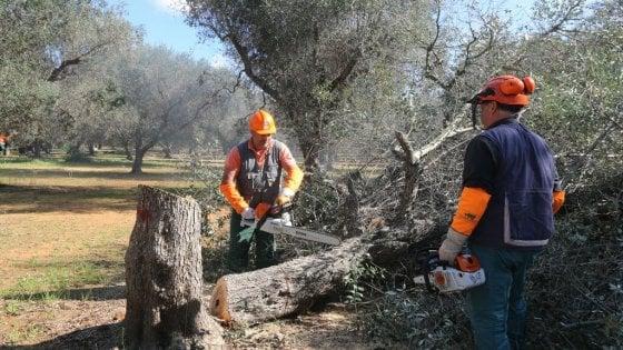 Xylella, quasi 3mila ulivi infetti in Puglia nella fascia di contenimento: a gennaio erano 735