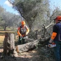 Xylella, quasi 3mila ulivi infetti in Puglia nella fascia di contenimento: