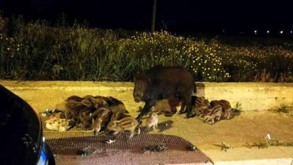 Bari, una cucciolata di cinghiali a spasso per la città