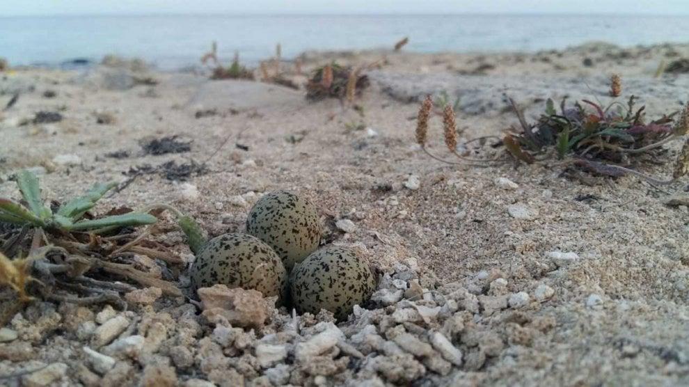 Taranto, il fratino depone le uova sulla sabbia: off limits un pezzo di spiaggia
