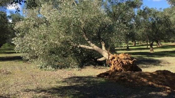 """Xylella, la Regione Puglia contro i sindaci che vietano i pesticidi: """"Nessuna deroga al decreto"""""""