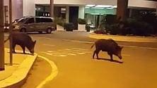 A Bari cinghiali a spasso sulla via per l'aeroporto