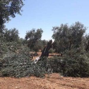 Bari, strage di ulivi secolari nelle campagne di Santo Spirito: 40 alberi danneggiati