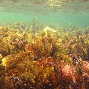 Il ritorno dell'alga tossica, allarme sulle coste delle province di Brindisi e Taranto