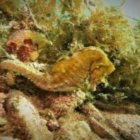 Taranto, c'è vita (sottomarina) dopo la diossina dell'Ilva: pesci rari e cavallucci...