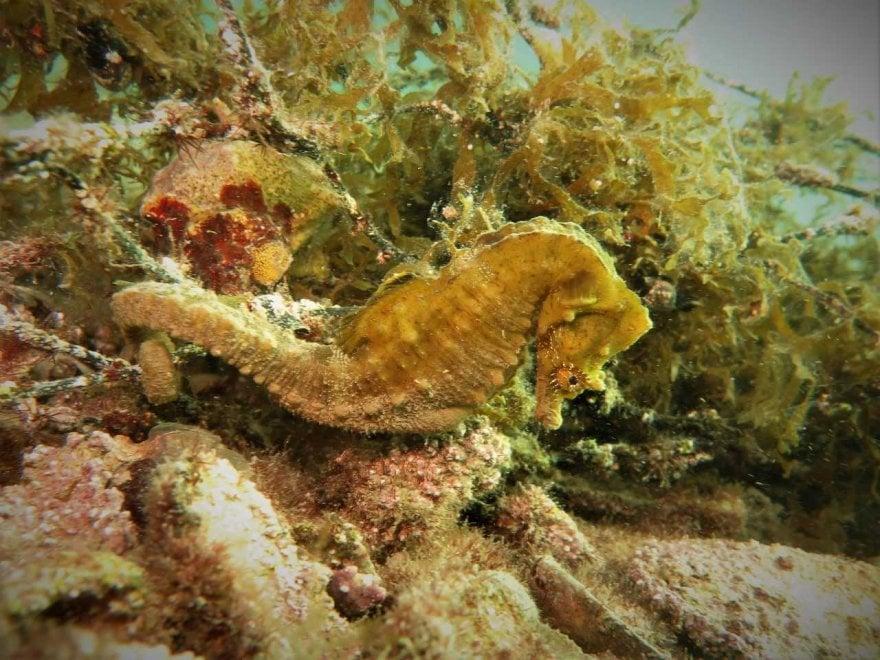 Taranto, c'è vita (sottomarina) dopo la diossina dell'Ilva: pesci rari e cavallucci marini ripopolano il Mar Piccolo