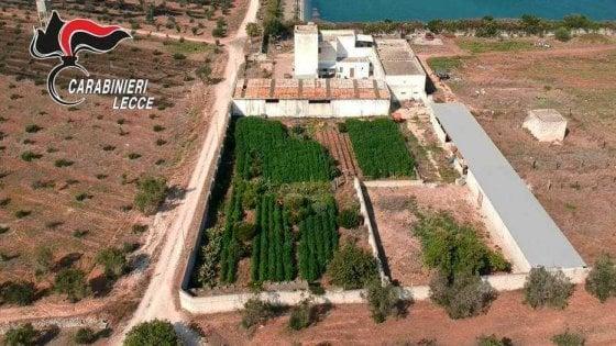 Lecce, sequestrata piantagione di marijuana: i carabinieri la scoprono con un drone