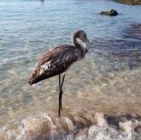 Salento, sorpresa in spiaggia: c'è un fenicottero fra i bagnanti