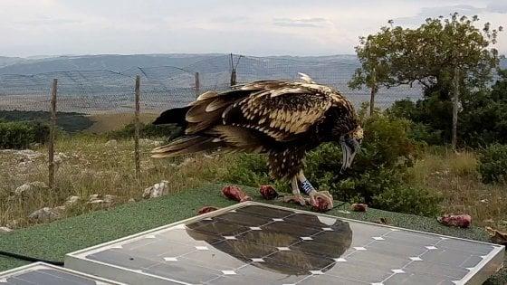 Natura, il piccolo avvoltoio Clara ucciso a fucilate in Sicilia: era partita da Matera con la sorella Bianca