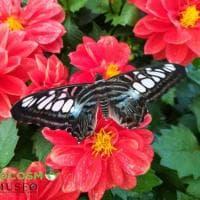 A Lecce il paradiso delle farfalle: ecco la maxi serra tropicale