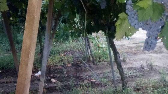 """Furti di uva e danni nei vigneti, è allarme in Puglia. Coldiretti: """"Servono più controlli"""""""