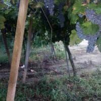 Furti di uva e danni nei vigneti, è allarme in Puglia. Coldiretti: