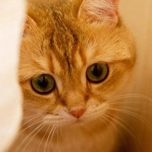 'Felina Bari', al Palaghiaccio due giorni per ammirare i gatti più belli del mondo