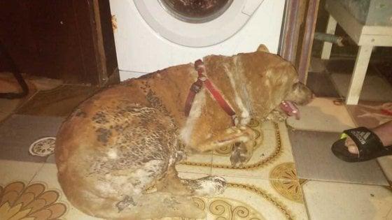 Brindisi, cane legato e arso vivo perché abbaiava troppo: salvato dai soccorritori