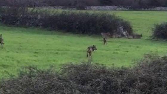 Bari e Taranto, tornano i lupi: sbranati vitelli e pecore, danni da 11 milioni