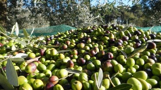 In Puglia una delle campagne olivicole peggiori di sempre: prodotto il 90% di olio in meno