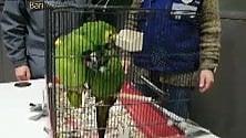 I pappagalli tropicali nascosti a bordo del bus