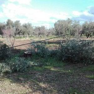 """Bari, dieci ulivi secolari rubati a un agricoltore: """"Per 150 euro di legna un danno da 10mila euro"""""""