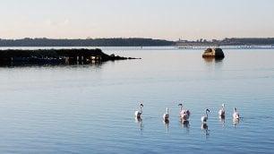Taranto, nella città dell'Ilva  tornano i fenicotteri rosa