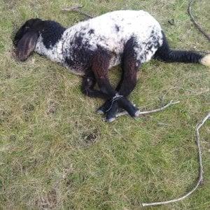 Salento, agnellino legato con il fil di ferro e abbandonato: gara di solidarietà per salvarlo