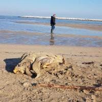 A San Girolamo trovata un'altra tartaruga spiaggiata: la terza in pochi giorni