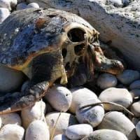 In Puglia cinque tartarughe decapitate, l'assessore regionale: