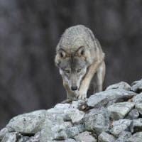 Bari, lupo ucciso a fucilate sulla Murgia. La Lipu: