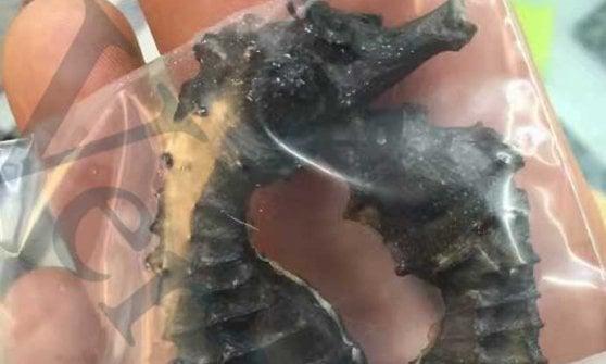 """Strage di cavallucci marini in Puglia: """"Venduti in Cina per fare un liquore, traffico milionario mette a rischio la specie"""""""