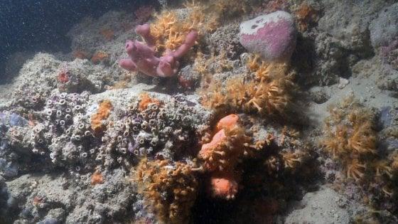 """Una barriera corallina  al largo della costa pugliese: """"E' unica nel Mediterraneo"""""""