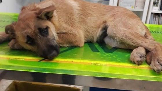 Lecce, cucciolo di cane chiuso in un sacchetto e abbandonato tra i rifiuti perché malato: salvato da un passante