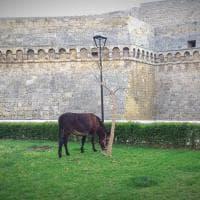 Bari, che ci fa un asinello accanto al castello Svevo?