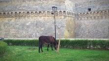 Che ci fa un asinello  vicino al castello Svevo?