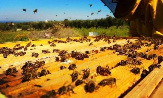 """A spasso tra gli alveari: a Bari apre un apiario con 200mila insetti. """"Così si impara a non avere paura"""""""