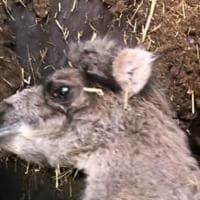 """Un cucciolo di cammello nasce durante il tour del circo in Puglia: """"Lo chiameremo Polignano"""""""